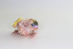 Νεοσσός Budgie, νεοσσός πουλιών Budgarigar Στοκ εικόνες με δικαίωμα ελεύθερης χρήσης