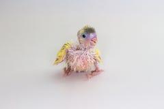 Νεοσσός Budgie, νεοσσός πουλιών Budgarigar Στοκ Εικόνες