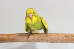 Νεοσσός Budgie, νεοσσός πουλιών Budgarigar Στοκ φωτογραφίες με δικαίωμα ελεύθερης χρήσης