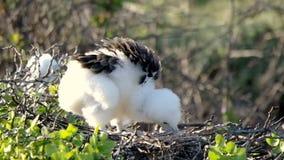 Νεοσσός Frigatebird στη φωλιά φιλμ μικρού μήκους