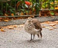 νεοσσός peacock Στοκ εικόνες με δικαίωμα ελεύθερης χρήσης