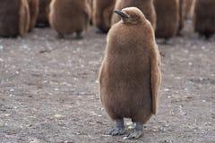 Νεοσσός Penguin βασιλιάδων - Νήσοι Φώκλαντ Στοκ εικόνες με δικαίωμα ελεύθερης χρήσης