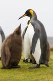 Νεοσσός Penguin βασιλιάδων που φθάνει στο γονέα για τα τρόφιμα Στοκ Φωτογραφία