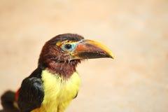 νεοσσός toucan Στοκ Εικόνες