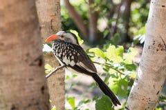 Νεολαίες κόκκινος-που τιμολογούνται hornbill Στοκ Εικόνες