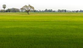 νεολαίες ρυζιού πεδίων Στοκ Εικόνες