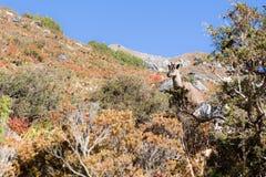 Νεπαλική αίγα θηλυκό Tahr βουνών Στοκ Εικόνες