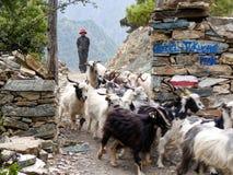 Νεπαλική αίγα herder Στοκ Φωτογραφία