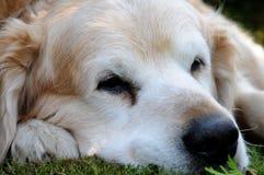 νεράιδα FALCO σκυλιών Στοκ φωτογραφία με δικαίωμα ελεύθερης χρήσης