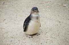 Νεράιδα penguin ή λίγο penguin Στοκ εικόνες με δικαίωμα ελεύθερης χρήσης