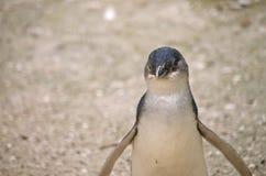 Νεράιδα penguin ή λίγο penguin Στοκ φωτογραφία με δικαίωμα ελεύθερης χρήσης