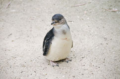 Νεράιδα penguin ή λίγο penguin Στοκ εικόνα με δικαίωμα ελεύθερης χρήσης