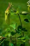 Νεράιδα λουλουδιών Aquilegia Στοκ φωτογραφίες με δικαίωμα ελεύθερης χρήσης