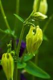 Νεράιδα λουλουδιών Aquilegia Στοκ Εικόνα