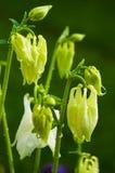 Νεράιδα λουλουδιών Aquilegia Στοκ εικόνα με δικαίωμα ελεύθερης χρήσης