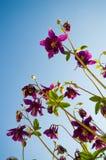 Νεράιδα λουλουδιών Aquilegia Στοκ φωτογραφία με δικαίωμα ελεύθερης χρήσης