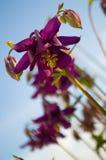 Νεράιδα λουλουδιών Aquilegia Στοκ Φωτογραφίες