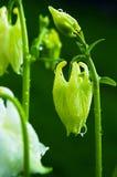 Νεράιδα λουλουδιών Aquilegia Στοκ Εικόνες