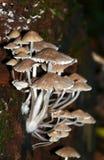 Νεράιδα Inkcap toadstools Στοκ Εικόνα