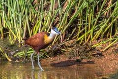 Νερά καλάμων πουλιών αφρικανικός-Jacana Στοκ Εικόνες