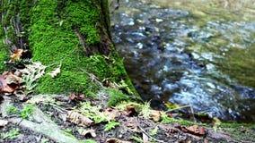 Νερά του ποταμού Nottawasaga και καλυμμένου του βρύο δέντρου απόθεμα βίντεο