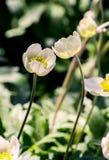 Νεραγκούλα Anemones, άσπρα λουλούδια Η έλξη ο ένας στον άλλο Τρυφερότητα σε σχέσεις μεταξύ των ανθρώπων Στοκ Εικόνες