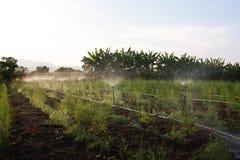 Νερό αλτών στο σπαράγγι οργανικής καλλιέργειας. Στοκ Φωτογραφία