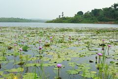 Νερό-κρίνοι στη λίμνη με το τοπίο στοκ φωτογραφίες