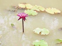 Νερό λουλουδιών Lotus Στοκ Εικόνες