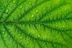 Νερό πτώσεων στην όμορφη πράσινη σύσταση φύλλων στενή μακροεντολή μυγών λουλουδιών που στηρίζεται επάνω Στοκ Εικόνες