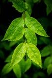Νερό στα φύλλα μετά από τη βροχή Στοκ Εικόνα