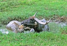 Νερό στους βούβαλους στοκ φωτογραφίες με δικαίωμα ελεύθερης χρήσης