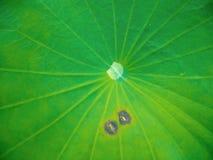 Νερό στο φύλλο Lotus, φύλλο Lotus στη λίμνη νερού στοκ φωτογραφίες με δικαίωμα ελεύθερης χρήσης