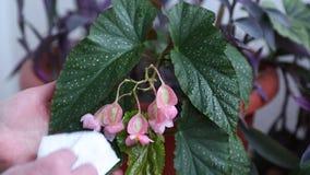 Νερό ψεκασμών γυναικών στο όμορφο πορφυρό λουλούδι πότισμα απόθεμα βίντεο