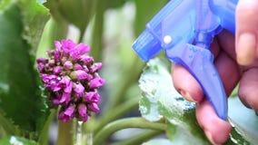 Νερό ψεκασμών γυναικών στο όμορφο πορφυρό λουλούδι πότισμα φιλμ μικρού μήκους