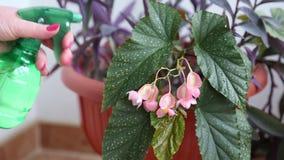 Νερό ψεκασμών γυναικών στο όμορφο ρόδινο λουλούδι απόθεμα βίντεο