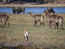 Νερό buck στο εθνικό πάρκο Chobe Στοκ Εικόνα