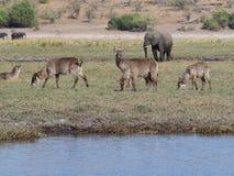 Νερό buck στο εθνικό πάρκο Chobe Στοκ Εικόνες
