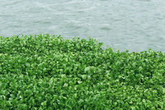 Νερό hydrophytes Στοκ Φωτογραφία