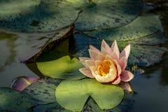 Νερό liliy ` Marliacea Rosea ` με τα ρόδινα πέταλα ένας βάτραχος στο κέντρο της σύνθεσης στοκ εικόνες με δικαίωμα ελεύθερης χρήσης