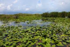 Νερό Lillies, Φλώριδα ΗΠΑ Everglades στοκ εικόνες