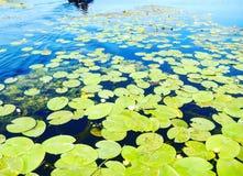 Νερό Lillies Στοκ εικόνες με δικαίωμα ελεύθερης χρήσης