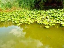 Νερό Lillies Στοκ Εικόνες