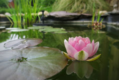 Νερό lilly σε μια λίμνη κήπων Στοκ εικόνες με δικαίωμα ελεύθερης χρήσης