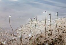 Νερό Lobelia και ένα caddisfly Στοκ Εικόνα
