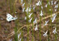 Νερό Lobelia και μια πεταλούδα Στοκ φωτογραφίες με δικαίωμα ελεύθερης χρήσης