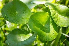 Νερό Pennywort, Centella Asiatica Στοκ Φωτογραφίες