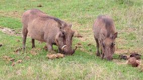 Νευρική βοσκή Warthogs στην πράσινη χλόη απόθεμα βίντεο
