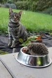 Νευρική γάτα που προσέχει τον αναιδή σκαντζόχοιρο, ο οποίος κλέβει τη σίτιση γατών Στοκ φωτογραφία με δικαίωμα ελεύθερης χρήσης