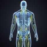 Νευρικό σύστημα και λεμφαδένες με τη μεταγενέστερη άποψη σώματος σκελετών διανυσματική απεικόνιση